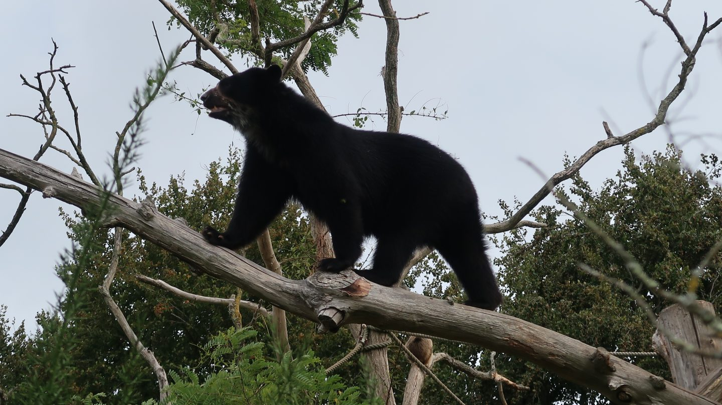 andean bear at jersey zoo