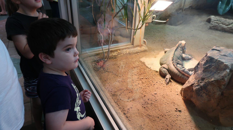 boy looking at kimodo dragon at jersey zoo