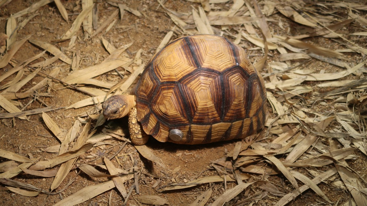 tortoise at jersey zoo