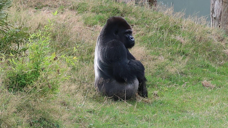alpha silverback gorilla at jersey zoo